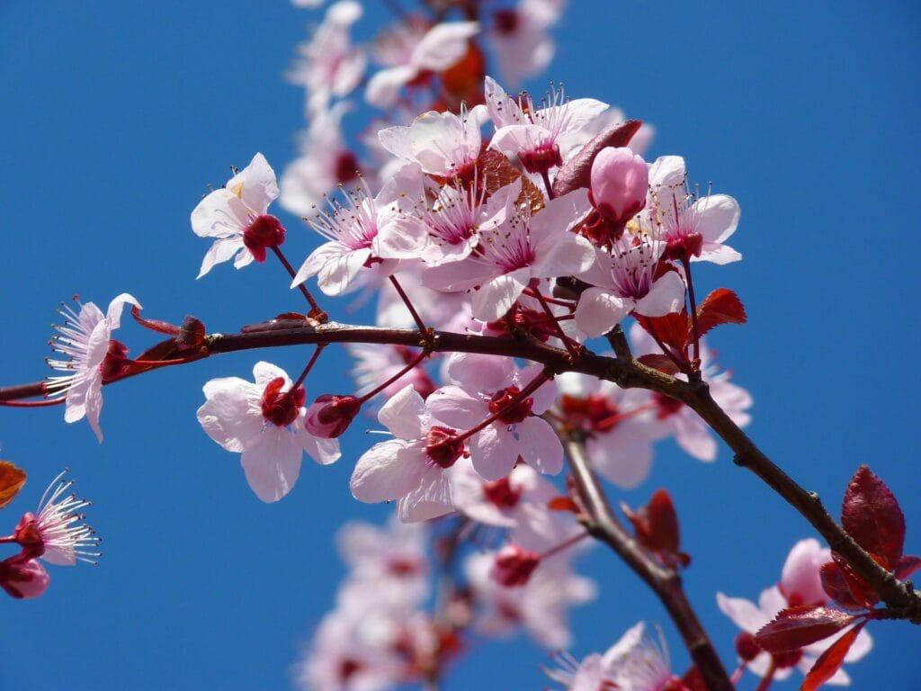 almond blossom 5378 1920